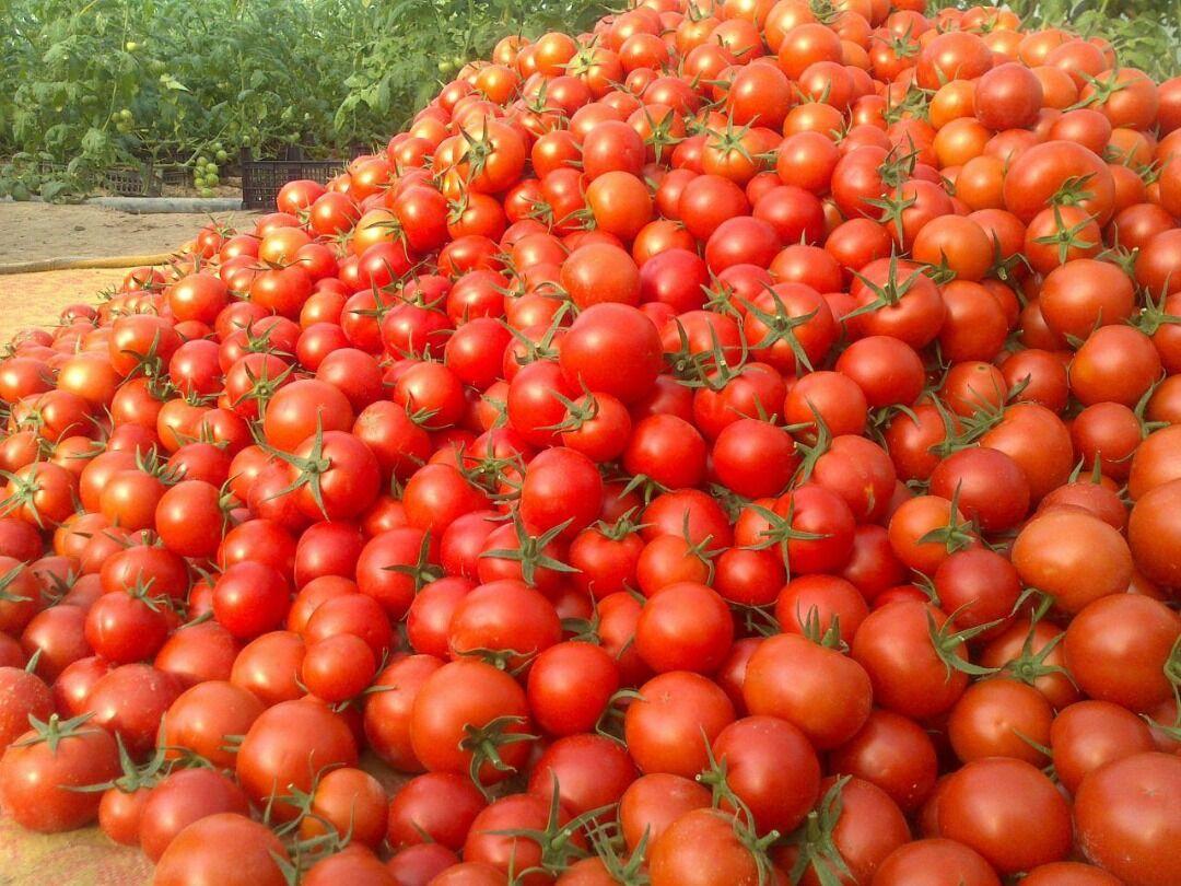 قیمت گوجه فرنگی متعادل می شود