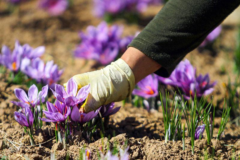 کشت محبوب زعفران، از شمال تا جنوب کشور