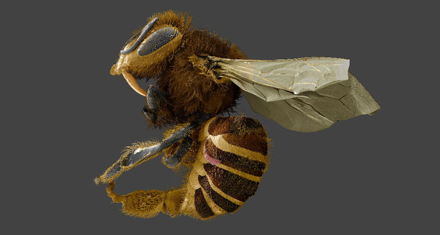 This honeybee parasite may be more of a fat stealer than a bloodsucker