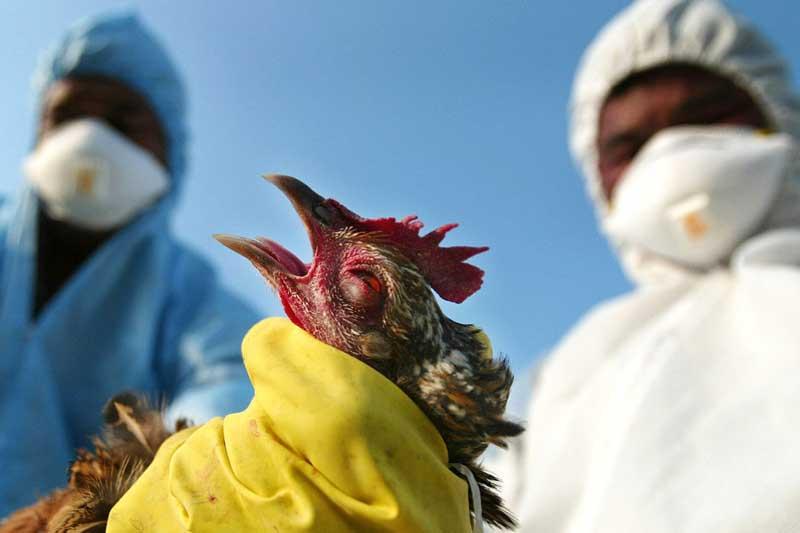رییس سازمان دامپزشکی : بیماری آنفلوانزای فوق حاد پرندگان همچنان تحت کنترل قرار دارد.