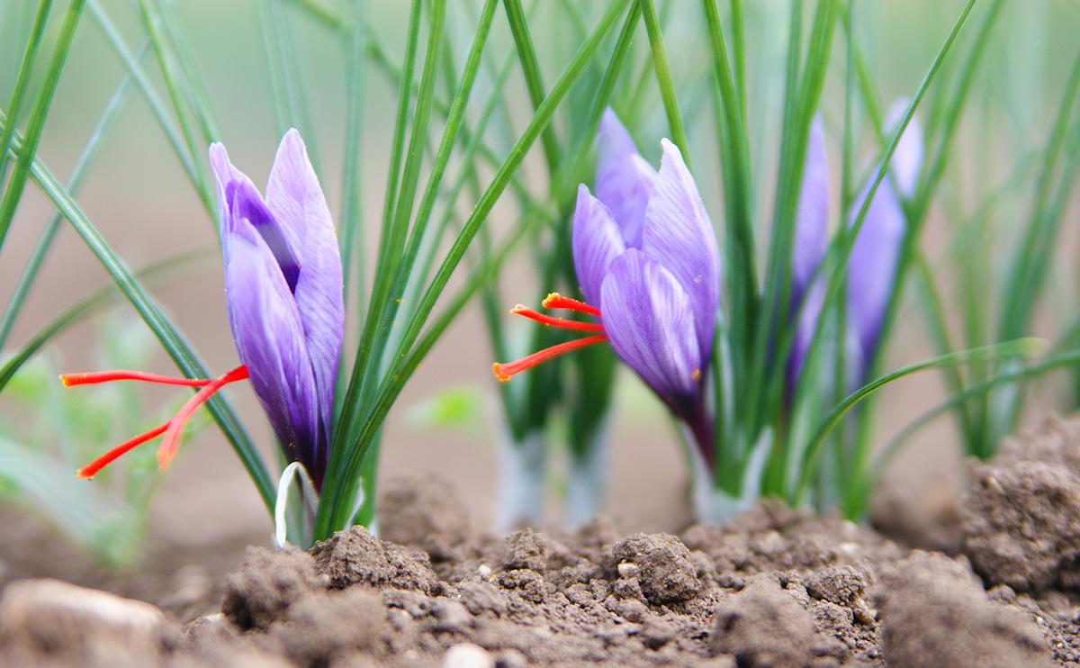 تولید بیش از ۱۴تن زعفران در مهولات
