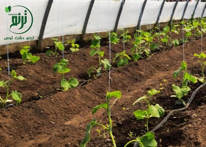 دانش کشاورز : ۵ توصیه کاربردی انتقال نشا