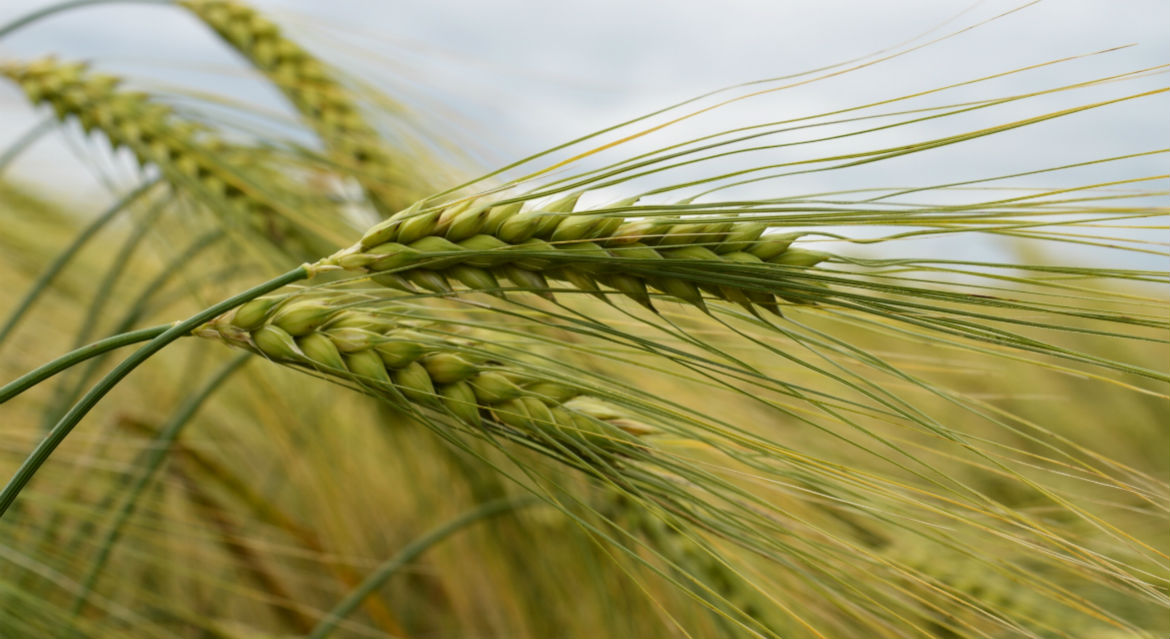 Effects of organic fertilizers and drought stress on Physiological traits in barley