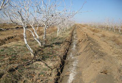 کود درخت-پسته