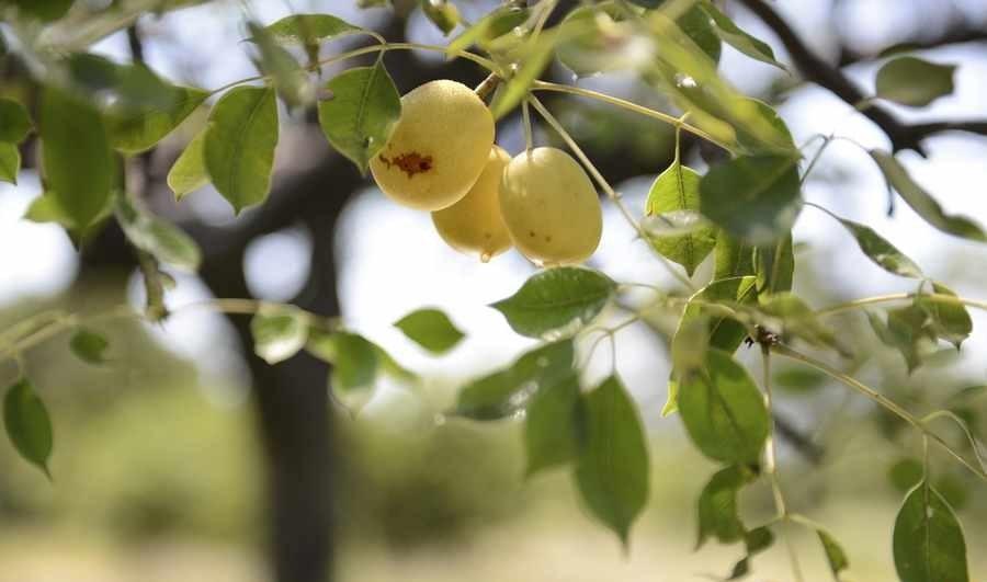 الکل میوه در مارولا
