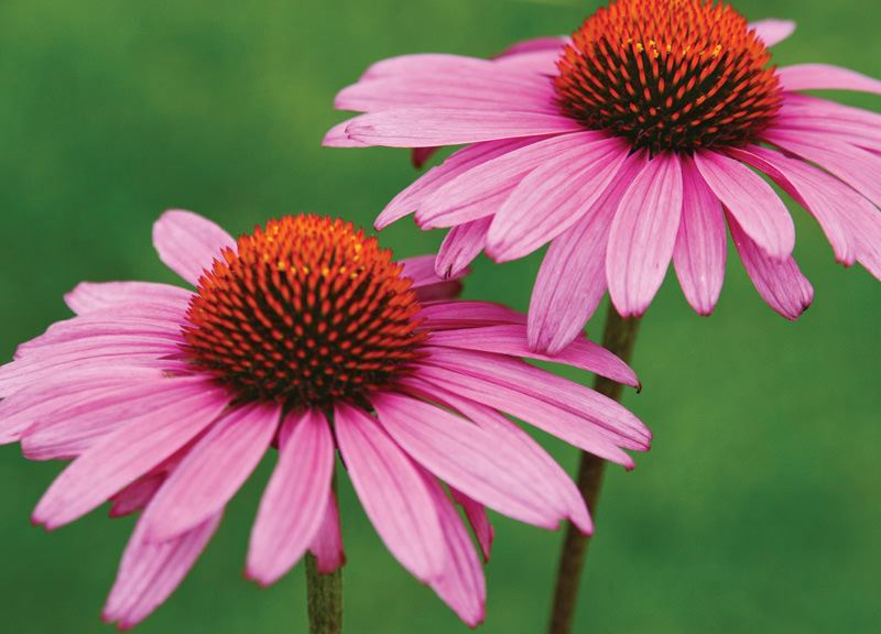 Antiviral Activity of Characterized Extracts from Echinacea