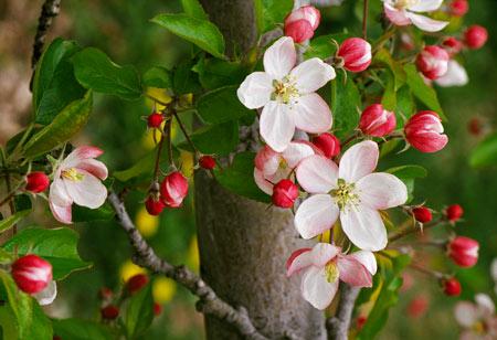 دلایل عمده ریزش گل و میوه در درختان سیب و گلابی
